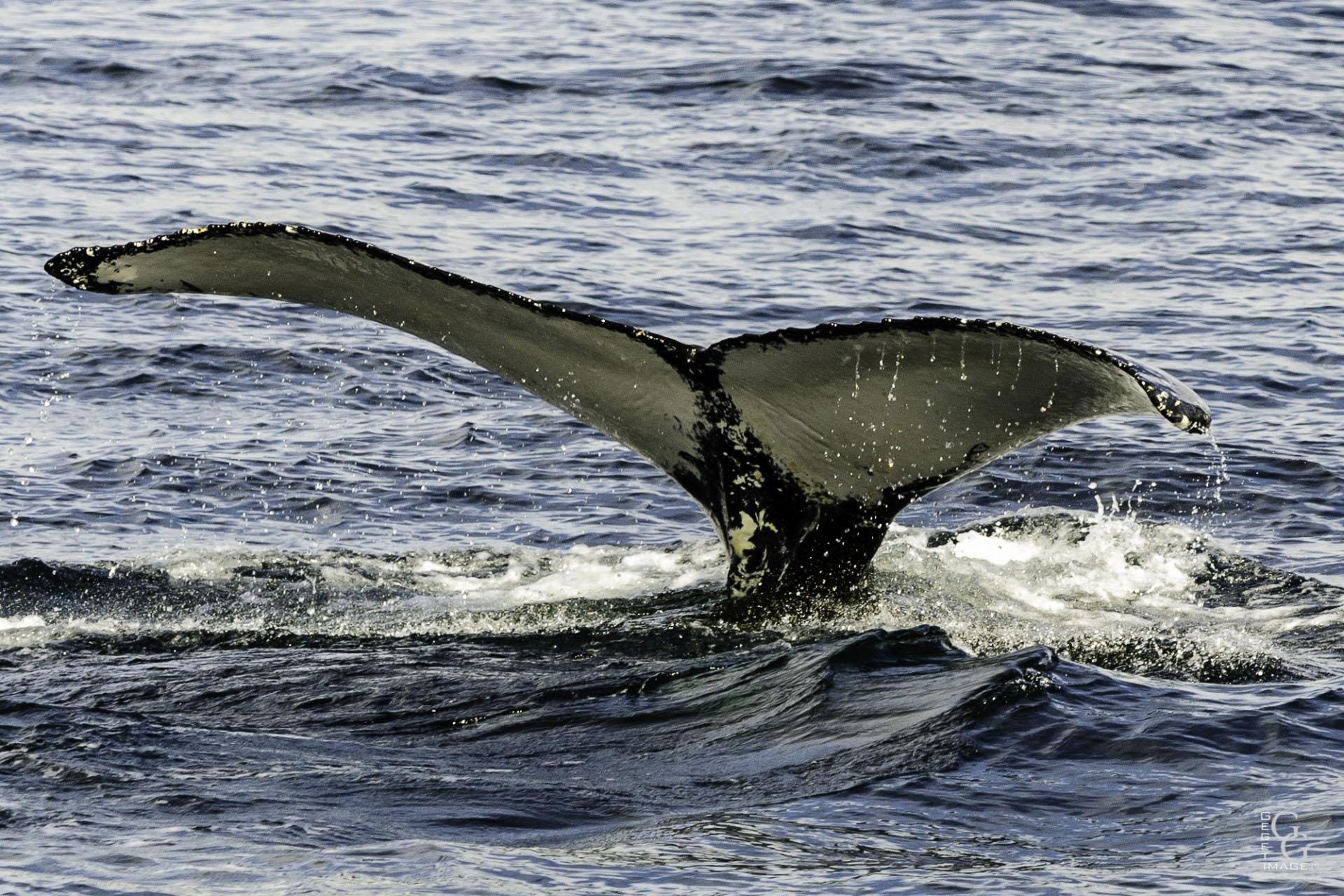 Blanche neige, Baleine du St Laurent